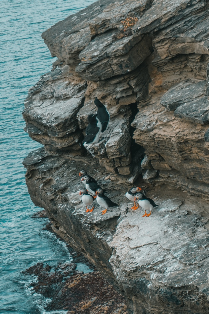 Six puffins on a rock